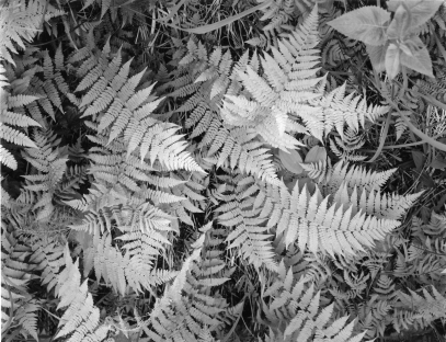 Ferns, Swan Valley Wildlife Refuge, Montana, Pentax 67, TMax 100, Pyrocat HD